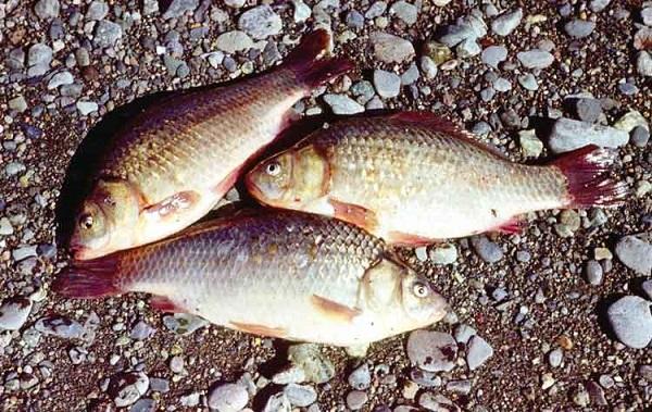 Лоля рыбы